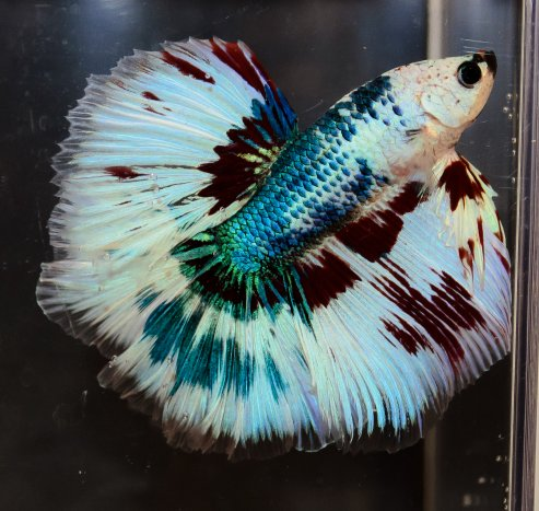 Dedicated to the Keeping & Breeding of Betta splendens